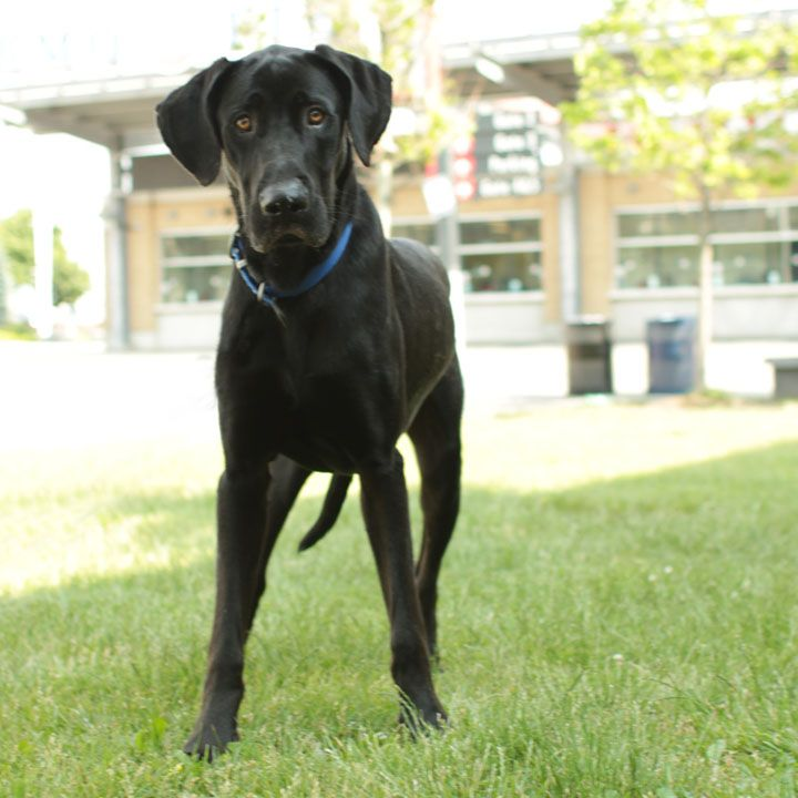 Shadow Great Dane Great Dane Lab Mix Great Dane Dane Dog