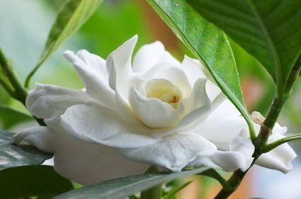 Homemade Fertilizer For Gardenia Plants
