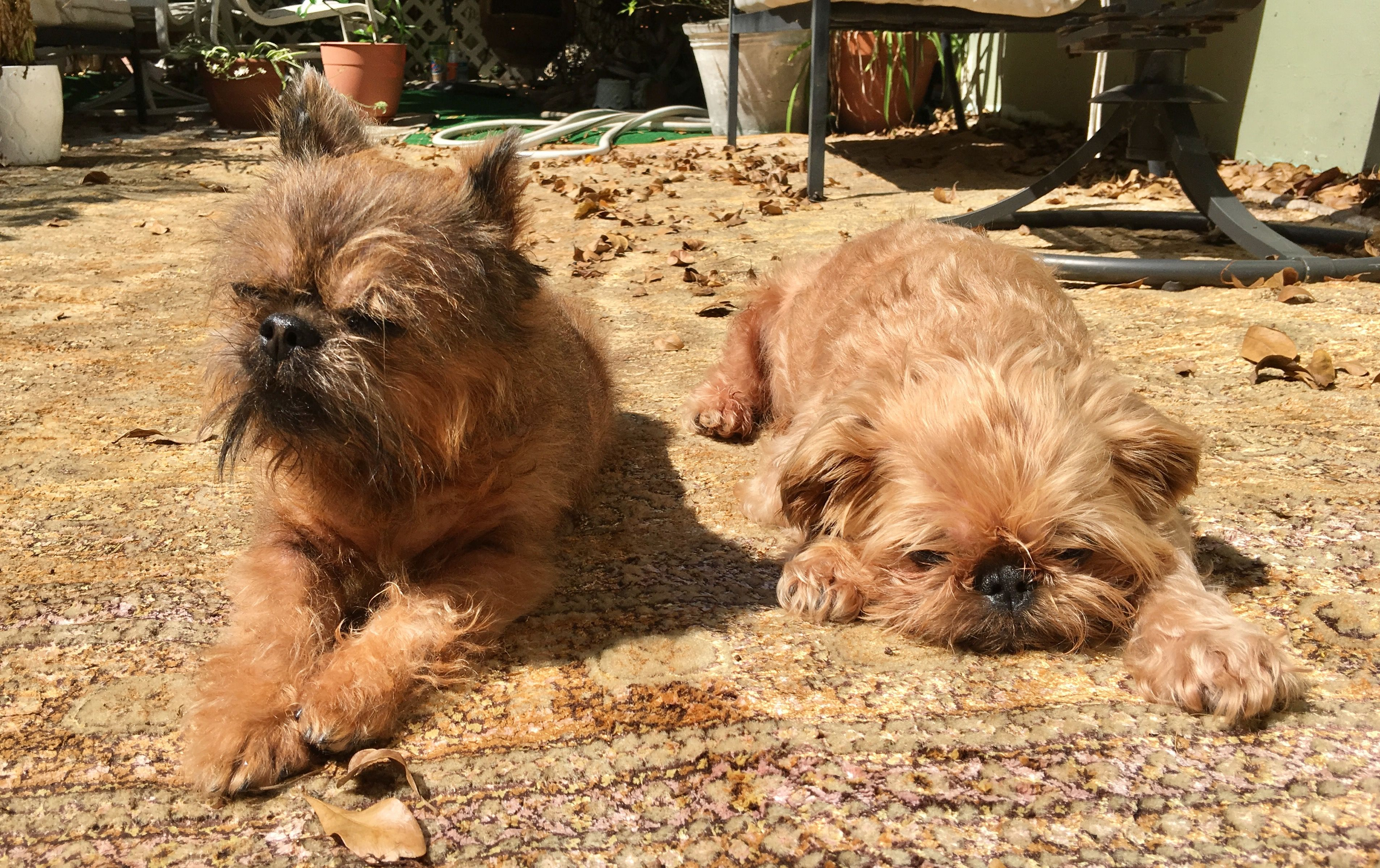 Male Brussels Griffon Puppy for sale Милые животные