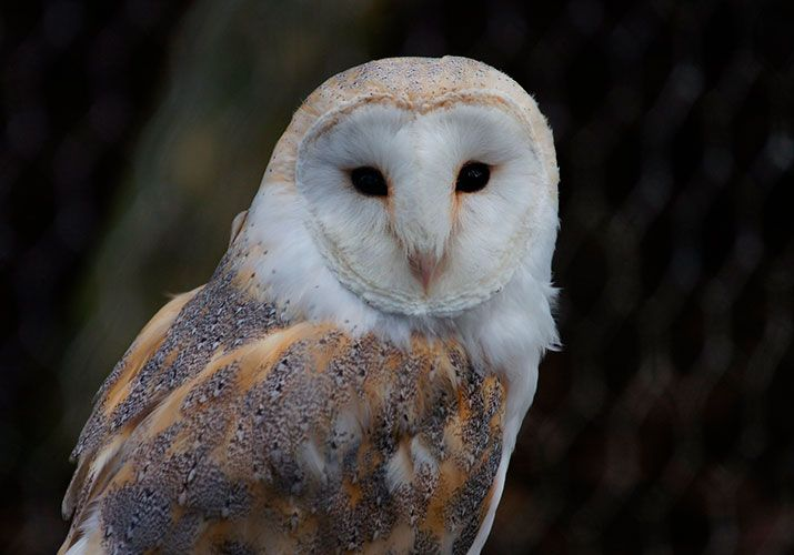 The Barn Owl is one of the world's most popular owl. It ...