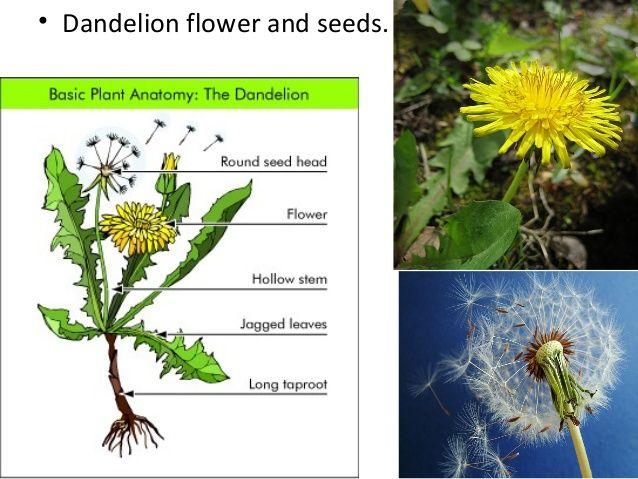 Simple Parts Of A Dandelion Flower For Kids Google Search Dandelion Flower Taproot Flowers