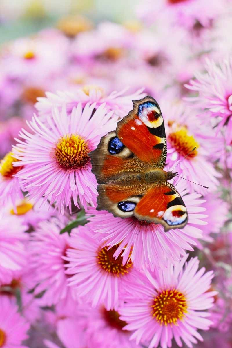 Best 6 Perennial Bushes To Attract Butterflies Gardener S Path Butterfly Plants Plants That Attract Butterflies Attract Butterflies