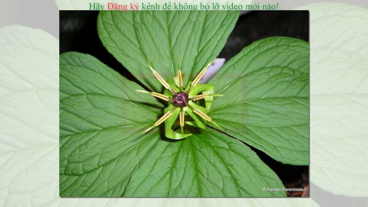 CTNST Cây thuốc nam quý Cây bảy lá một hoa Cây, Hoa