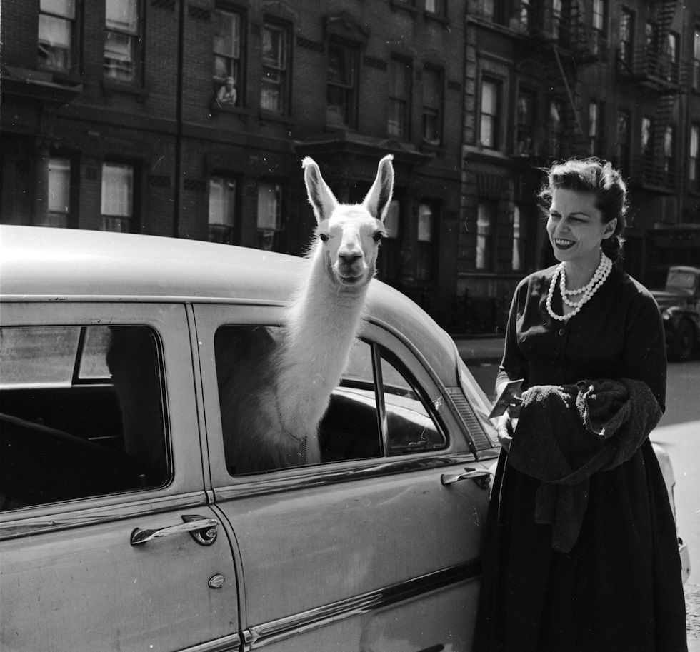 reddit com     A llama hanging out of a car in New York City