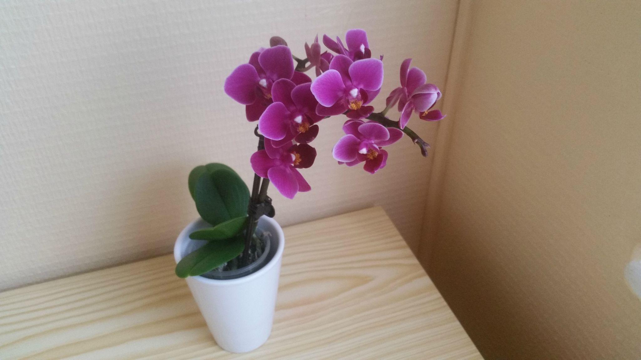 mini orchid�e****** - passions et gourmandises | orchid�es