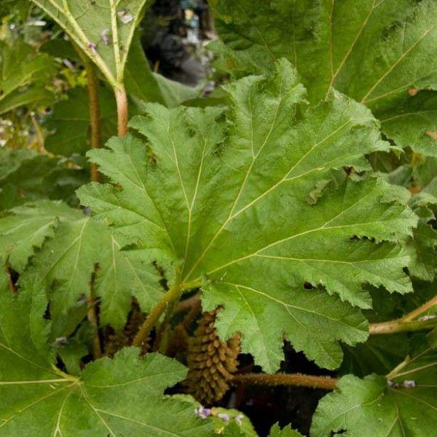 gunnera manicata rhubarbe du br sil en pot 3l jardin. Black Bedroom Furniture Sets. Home Design Ideas