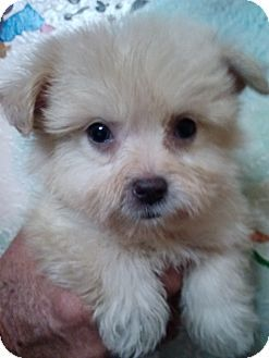 St Pete Fl Poodle Toy Or Tea Cup Maltese Mix Meet Co Co Puffs 1 A Puppy For Adoption Http Www Adoptap Puppy Adoption Pets Kitten Adoption