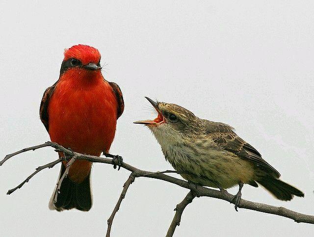 Mosquero cardenalito -Pyrocephalus rubinus- | I love Venezuela ...