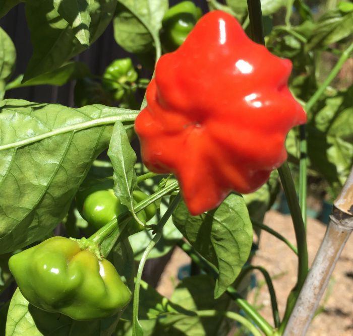 100 Pc Giant Vegetable Chili Seeds Fruit Vegetables Flower Home Planting PIL