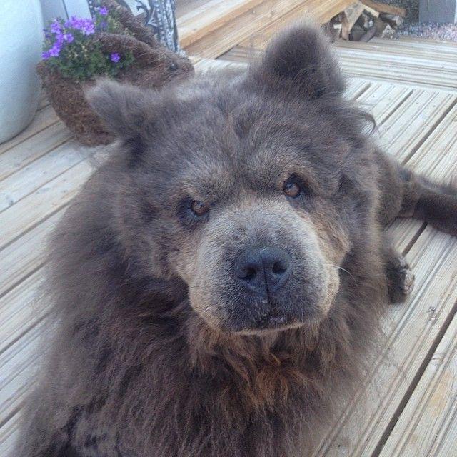 Good morning guys!  #chowchow #chowchowlover #instadog #prettyface #furball #pet #dog #goodmorning #myprecious #ilove