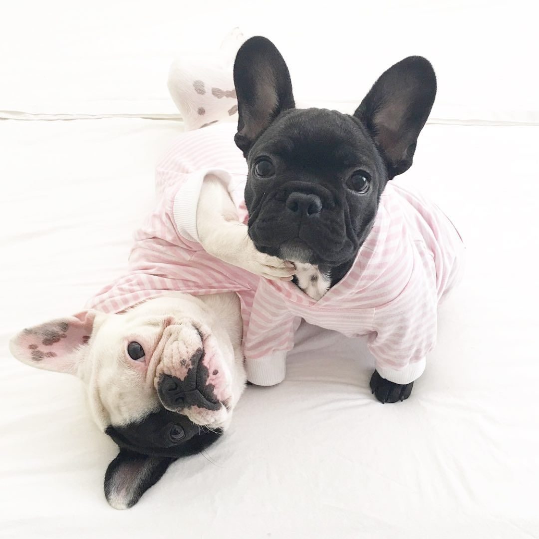 Miss Olive The Frenchie Bulldog French Bulldog Cute French