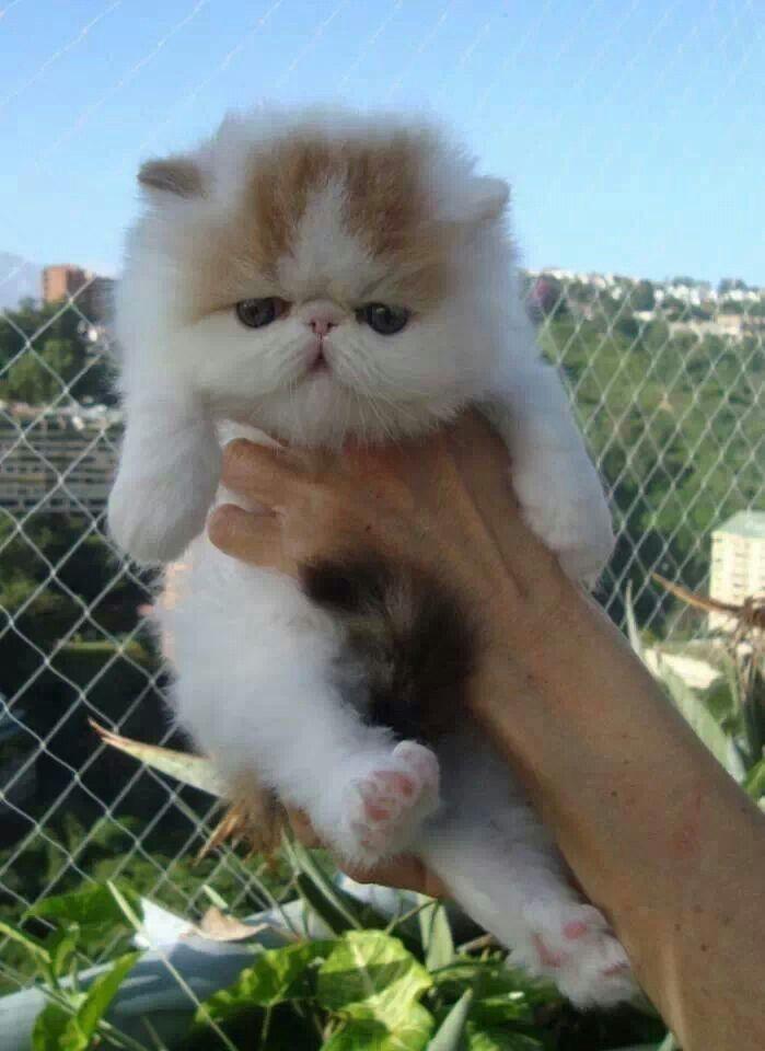 Pin By כליל ליבס On Danny Gonzalez Kittens Cutest Pretty Cats Cute Cats