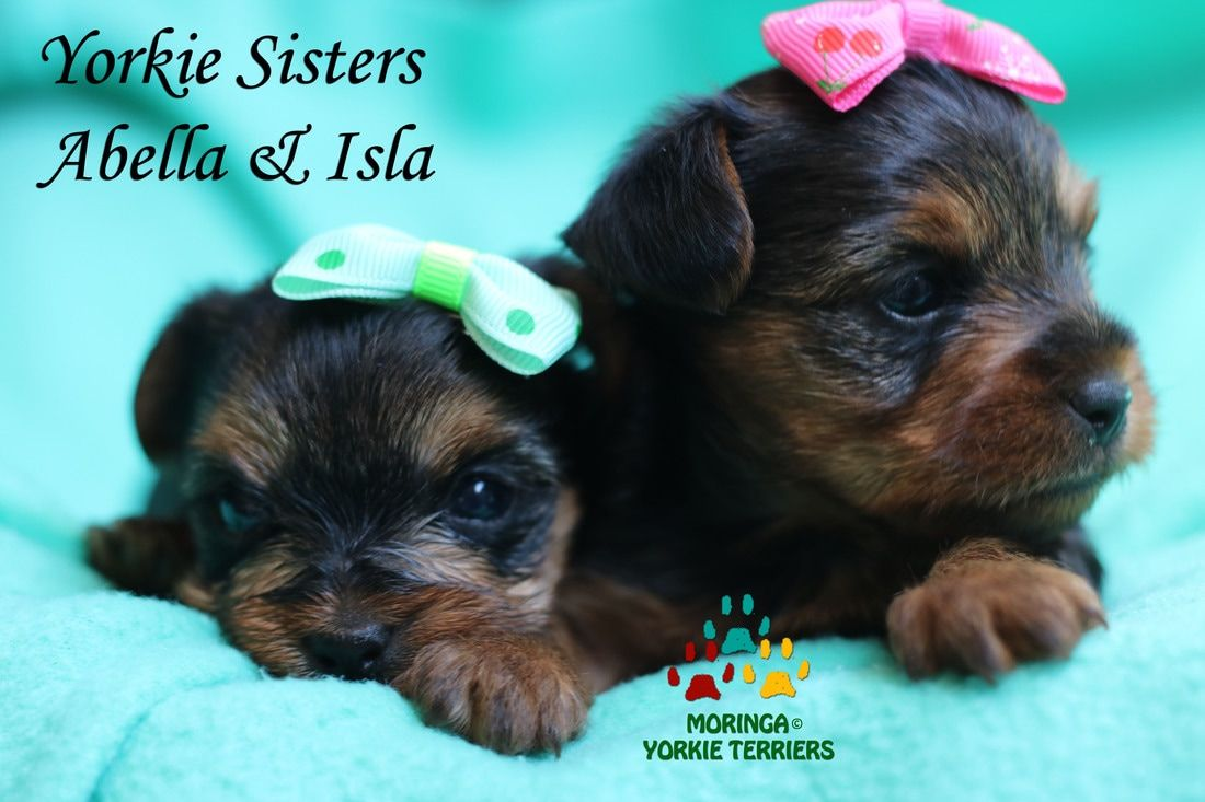 Yorkie Puppies For Sale Healthy Yorkie Puppies 424 341 3107