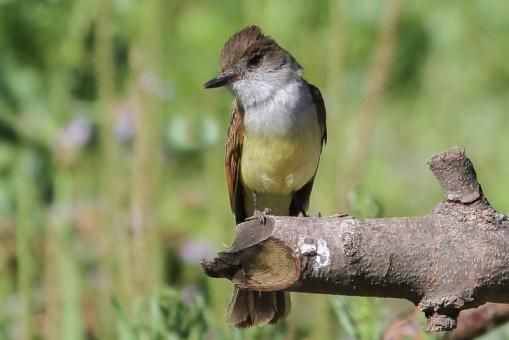 Dusky-capped Flycatcher (Myiarchus tuberculifer) videos, photos and sound recordings   the Internet Bird Collection   HBW Alive