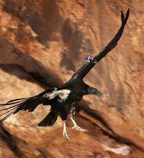 Man finds rare Grand Canyon bird near Cortez