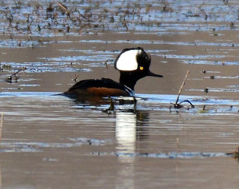 """Male""""Hooded Merganser"""" doing a courtship display. Photo by Becky Wylie at SWMO"""