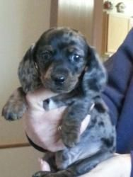 Adopt Tank On Dapple Dachshund Dapple Dachshund Puppy