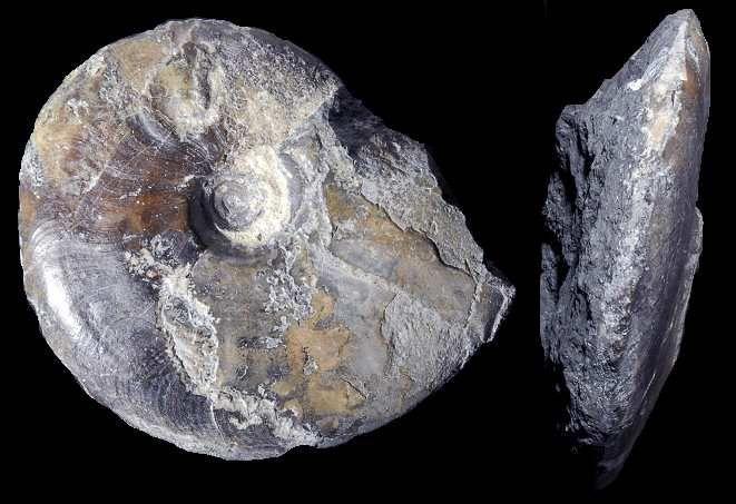 Leioceras opalinum Pratz.jpg (661×453)