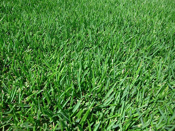 Super Seeds Perfect For Your Region Shade Grass Grass Care St Augustine Grass Care