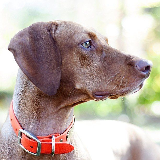 EDITOR'S PICK! Zara the Vizsla by Terry Ann Hayes: http://ift.tt/1XJAkmn.   Pretty profiles come and go but gorgeous Zara profiles are here to stay!  #vizsla #vizslas #vizslasofinstagram #vizslalove #vizslalife #vizslaofinstagram #vizslaworld by bestofpack
