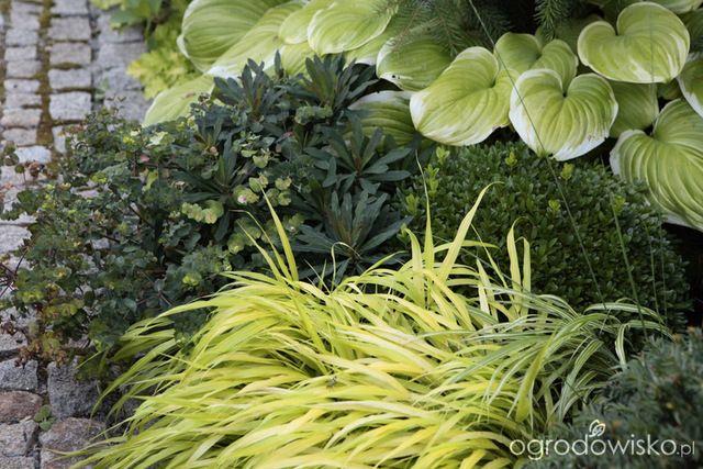 """Galeria zdjęć - Portrety roślin - Hakonechloa macra """"Aureola"""" - Ogrodowisko"""