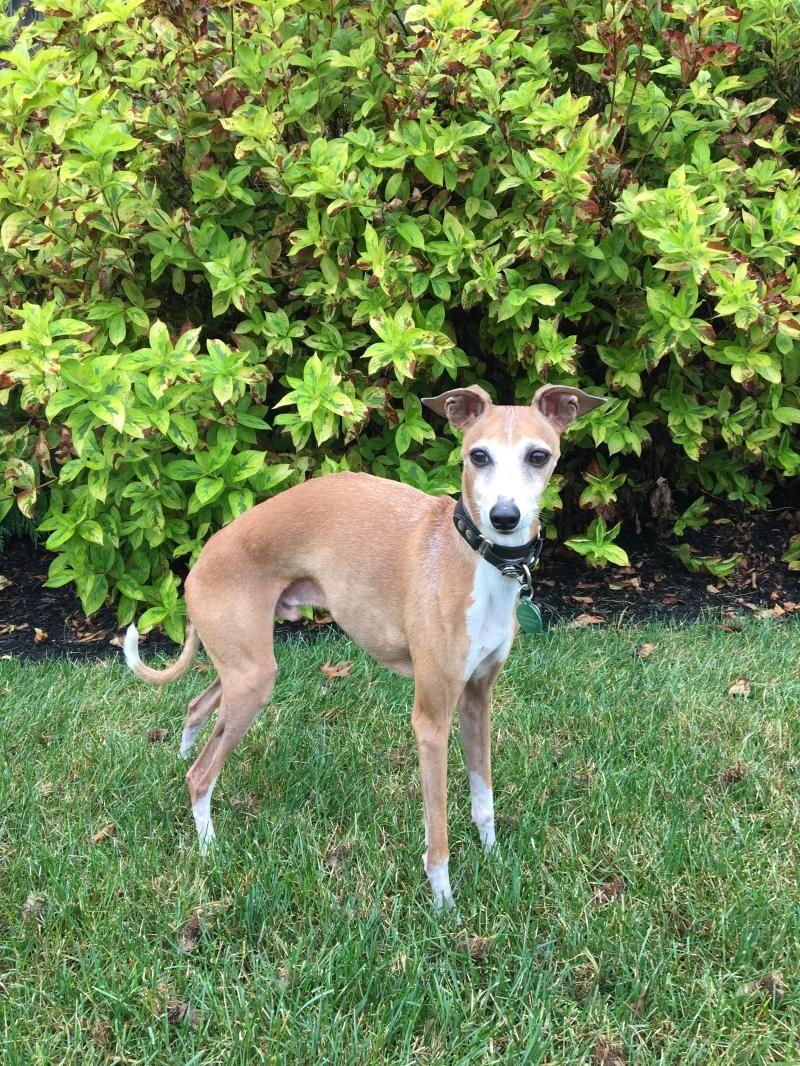 Adopt Nino on Petfinder Dog adoption, Italian greyhound