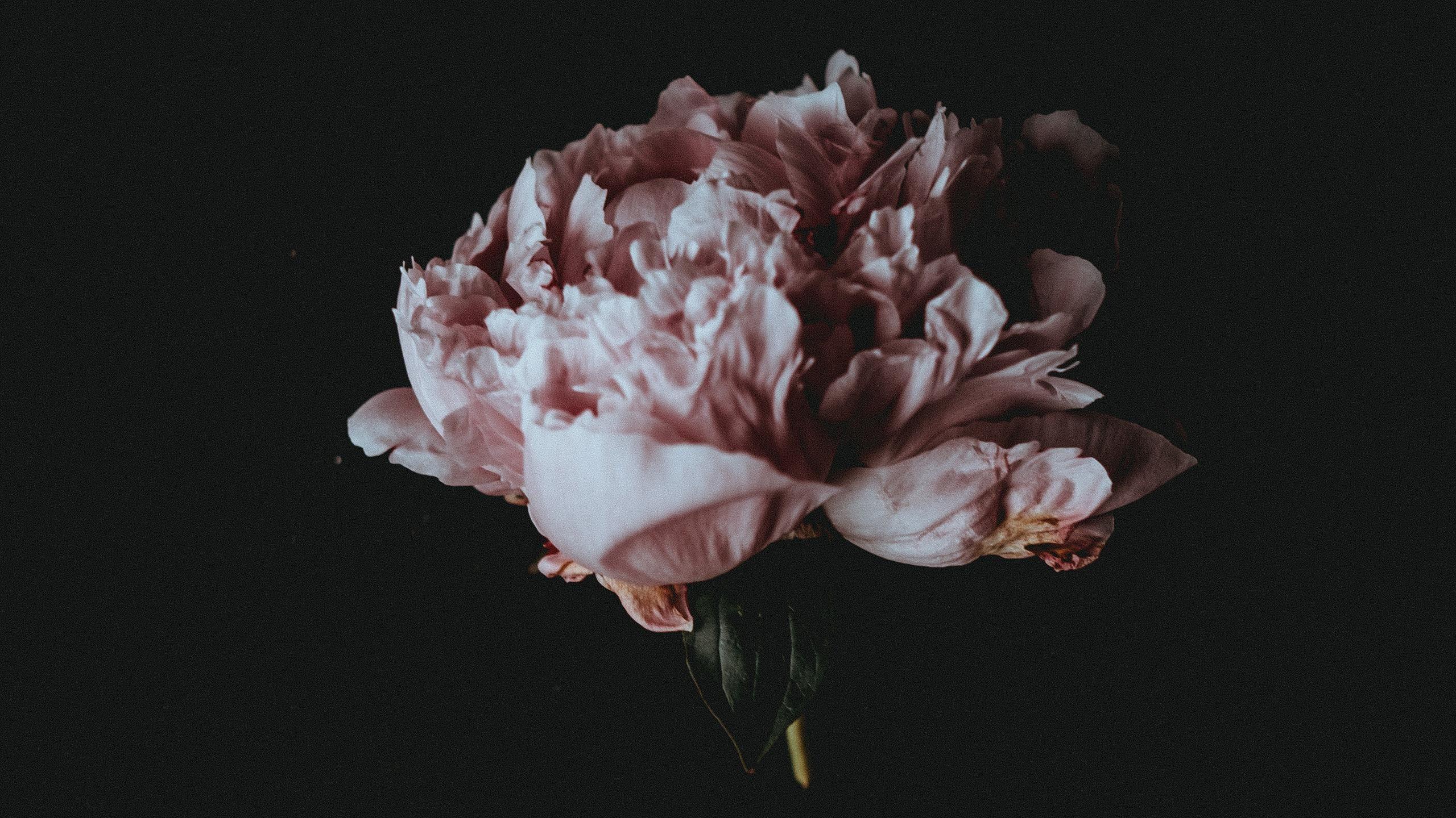 annie spratt [2560x1440] via Classy Bro Pink flower