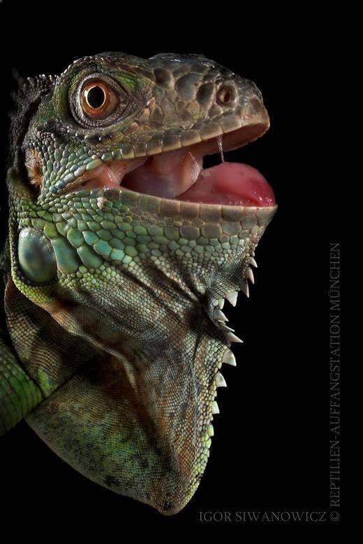 爬虫類 おしゃれまとめの人気アイデア Pinterest Kinoc Kayfar 爬虫類 イグアナ トカゲ