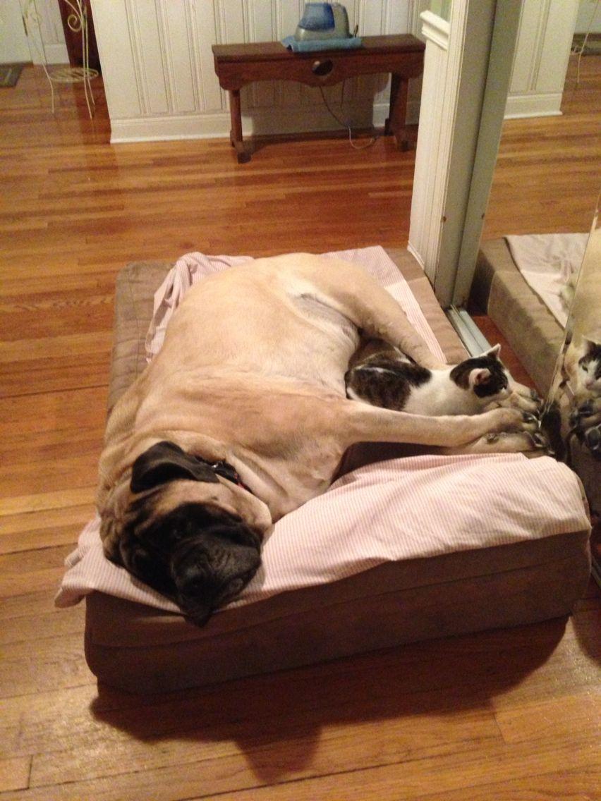 Bella on her Big Barker Bed. ️ ️ Mastiffs, Bull mastiff