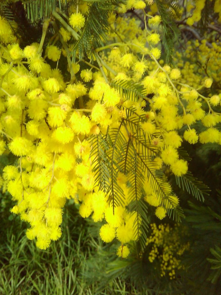 Early Black Wattle Green Wattle Acacia Decurrens Australian Native In Qld Nsw Naturalized In Vi Australian Native Plants Native Plants Native Australians