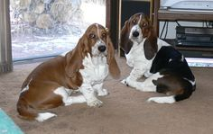 Tait's Bassets - Our Puppies