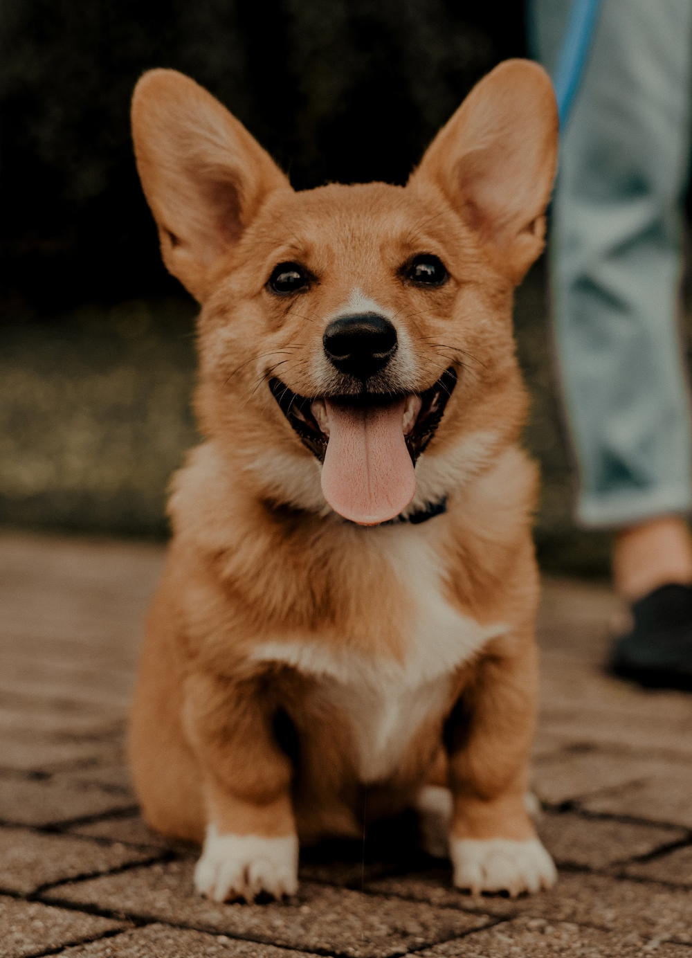 Corgi Wallpaper 4k Pets Collection Laginate Corgi Wallpaper Cute Dog Wallpaper Corgi Dog