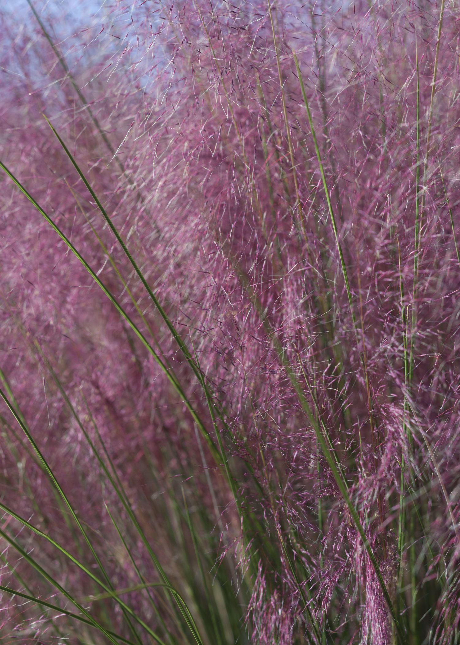 Plumetastic Pink Muhly Grass Song Birds And Beneficial Insects Love The Glittering Purple Clouds Fro Ornamental Grasses Habitat Garden Southern Landscaping