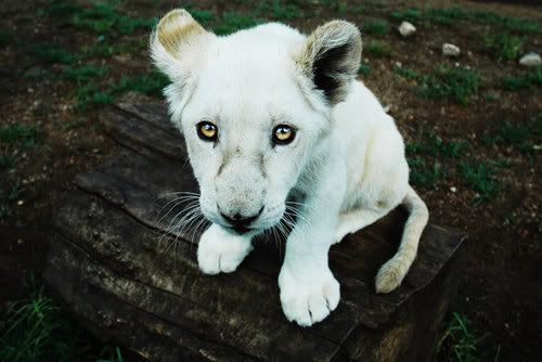 Lion! i will have one, one day promise!