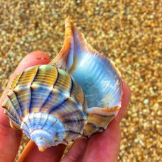Image result for island seashell