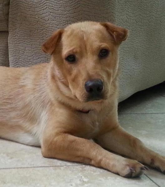 Freddie Corgi Shar Pei Mix 1 Yr Old Paw Placement Scottsdale Az Http Www Pawplacement Org Pet Adoption 0000005212 Dog Adoption Pet Adoption Pets