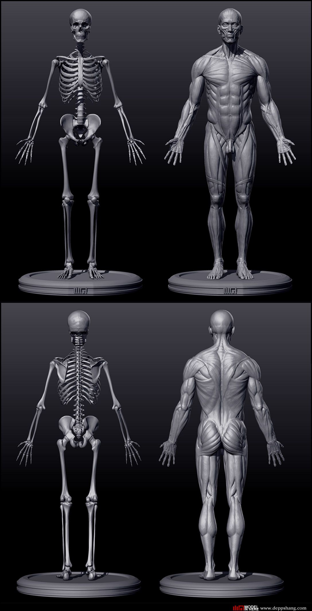 Skeletal and musculature render of an adult male, front and back ...