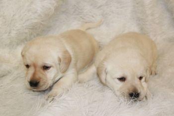 Labrador Retriever Puppies For Sale Minnesota Breeder Fox Red Ivory Black Yellow Chocola Labrador Retriever Labrador Retriever Puppies Lab Puppies