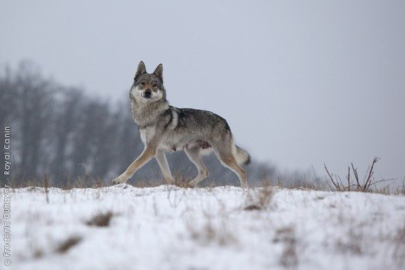 Czechoslovakian Wolfdog Not A Wolf Running With The Wolves