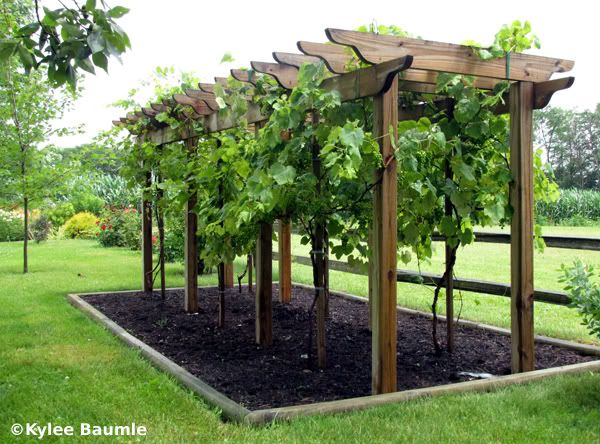 ideas about Grape Arbor on Pinterest  Arbors, Grape vines and Vines