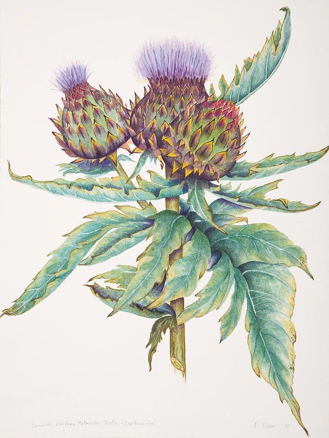 Cardoon Artichoke Thistle By Elizabeth H Tudor In 2020 Thistles Art Artichoke Flower Botanical Painting