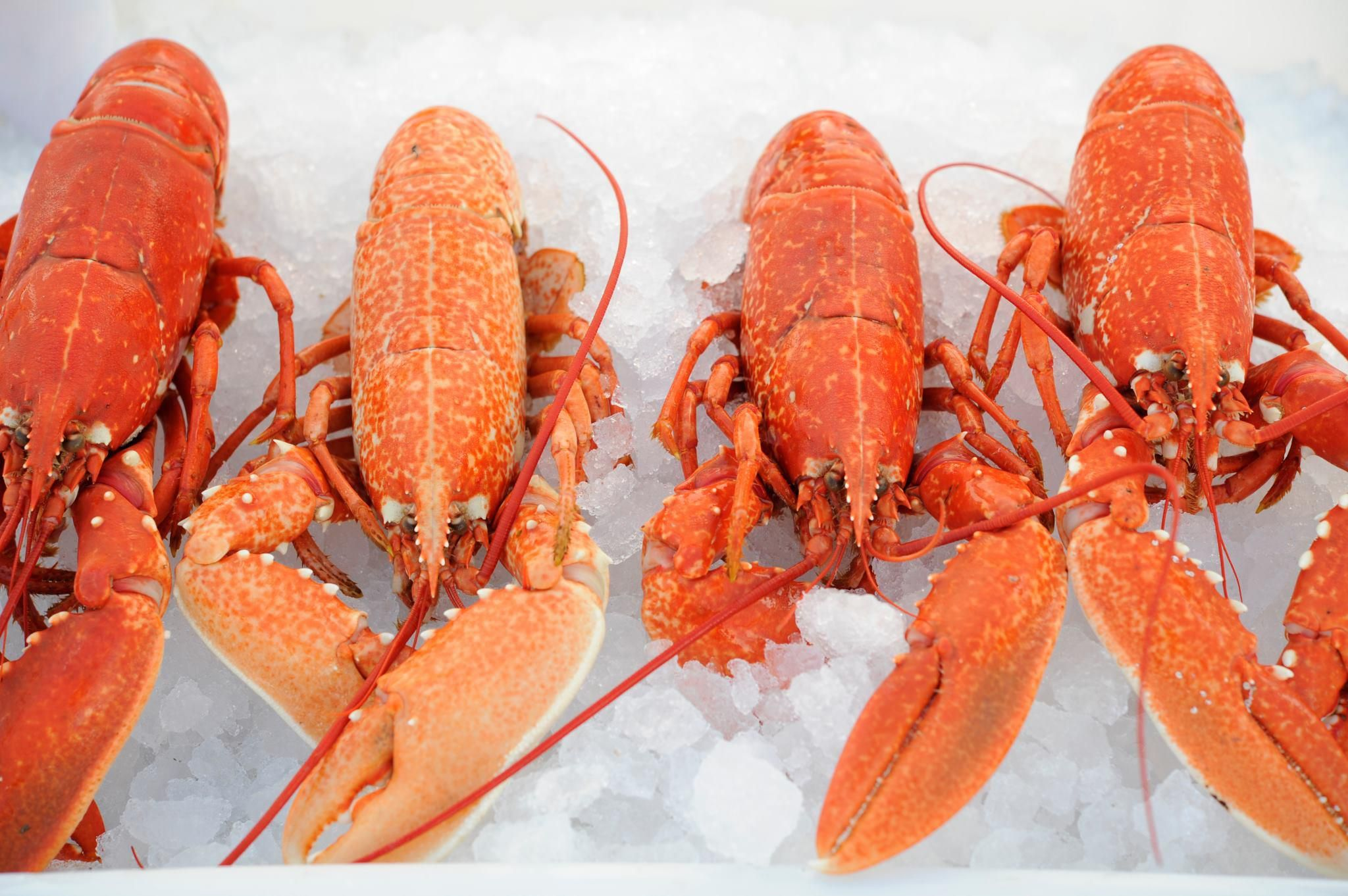 Fresh cornish lobster from the cornish fishmonger for American fish and seafood