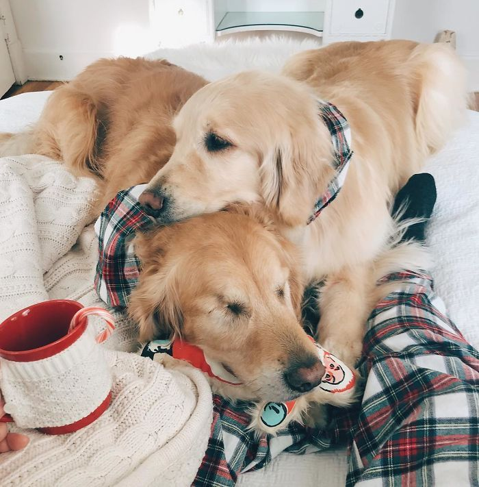 This Blind Golden Retriever And His Guide Dog Best Friend Are