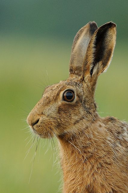 Brown Hare Animaux Lapin Et Oiseaux