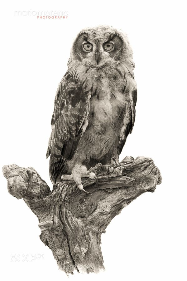 The Young Owl by mariomoreno via http://ift.tt/1UW2FJR
