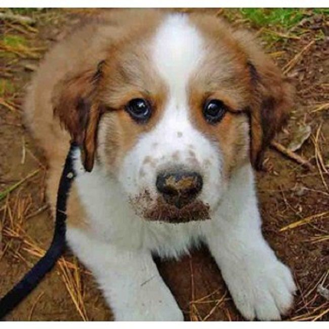 White Bernese Mountain Dog Color All Dog Breeds Bernese Mountain Dog Dogs Dog Breeds