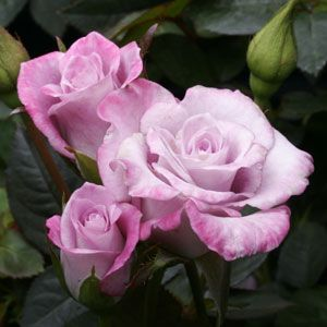 Scentsational Miniature Rose This One Is Wonderfully Fragrant Rose Varieties Roses Only Beautiful Pink Roses