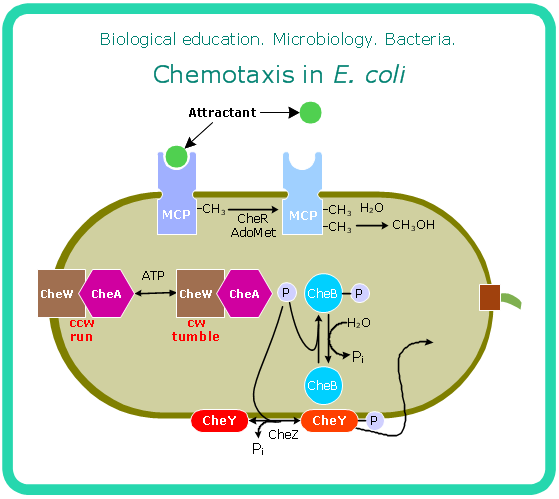 Microbiological diagram sample chemotaxis in e coli science and microbiological diagram sample chemotaxis in e coli ccuart Images