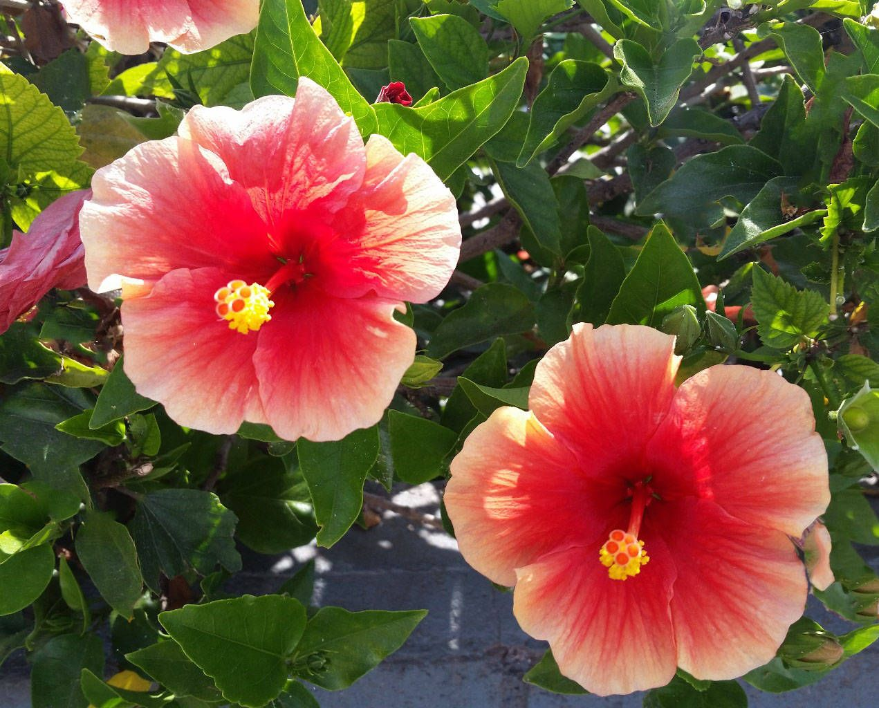 Hibiscus Google Search In 2020 Hibiscus Plant Perennial Plants Plants
