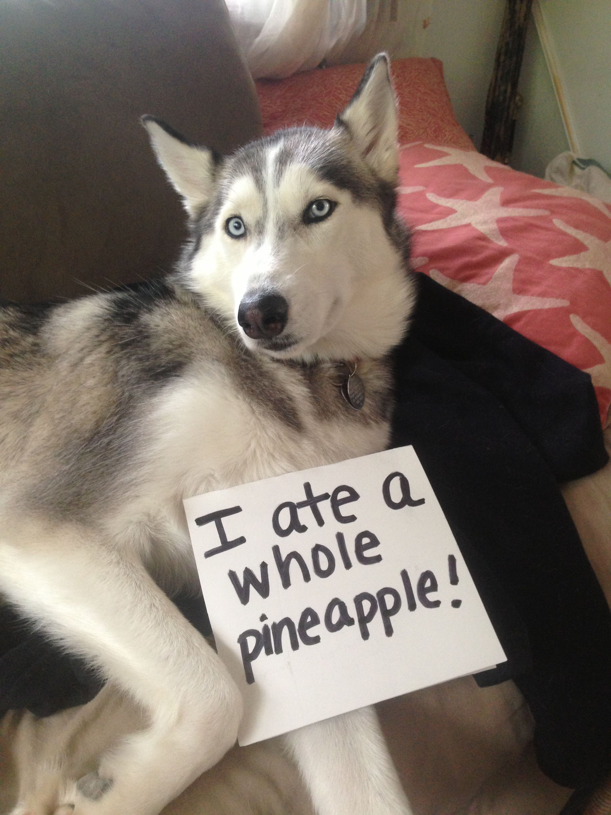"""""""I ate a whole pineapple!"""" ~ Dog shaming shame -  Am I the only one that see's trouble is coming... time for a long walk!"""